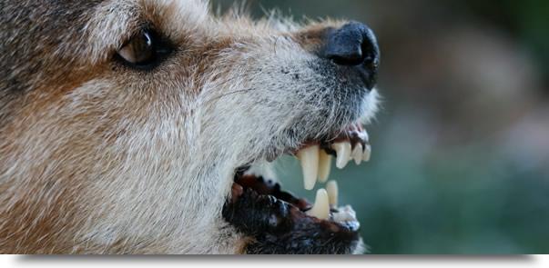 Dog Bit and Animal Attack Attorney